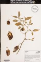 Image of Capsicum annum