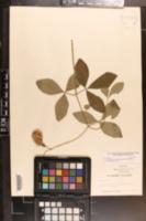 Baptisia megacarpa image