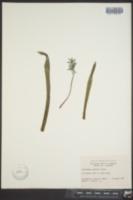 Image of Chionodoxa sardensis