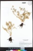 Eryngium castrense image