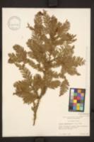 Sequoia sempervirens image