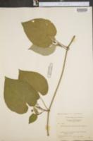 Image of Matelea pinguifolia