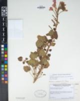Chylismia cardiophylla image