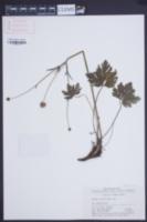Image of Anemone rivularis
