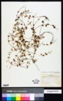 Micromeria brownei image