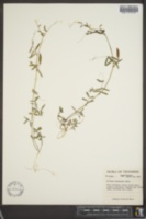Vicia micrantha image
