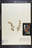 Image of Nepeta mussinii