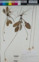 Leibnitzia lyrata image