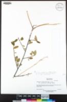 Ceanothus integerrimus var. macrothyrsus image