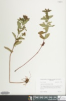 Image of Hypericum mitchellianum