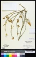 Image of Asclepias subaphylla