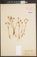 Limnanthes douglasii subsp. rosea image