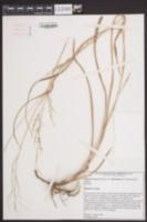 Panicum anceps var. rhizomatum image