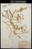 Euphorbia platysperma image