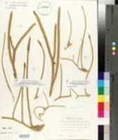 Image of Lycopodium chapmanii