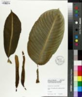 Image of Dieffenbachia leopoldii