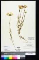 Phlox amoena subsp. lighthipei image