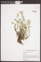 Gamochaeta argyrinea image