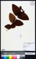 Hypericum androsaemum image