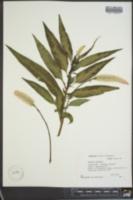 Celosia cristata image