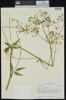Ligusticum canadense image