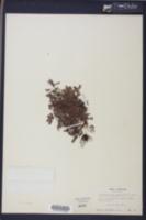 Image of Euphorbia deltoidea