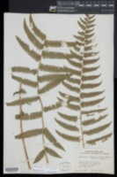 Amauropelta linkiana image