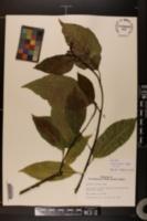 Image of Magnolia biondii