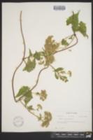 Image of Mikania batatifolia