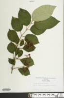 Image of Viburnum dilatatum