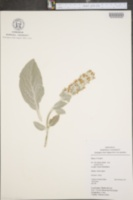 Image of Stachys lanata