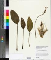 Sagittaria platyphylla image