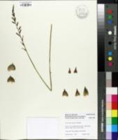 Image of Haworthia limifolia