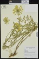Daucus carota image