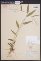 Dichanthelium boscii image
