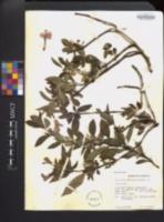 Barleria cristata image