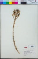 Petalonyx thurberi image