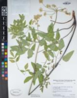 Image of Angelica californica