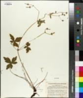 Image of Geranium latum