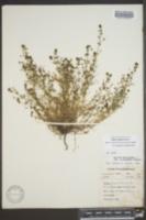 Galium anglicum image