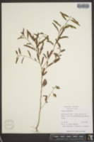 Chamaecrista nictitans image