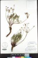 Lomatium marginatum image