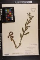 Onosmodium virginianum image