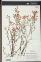 Image of Polygonum fimbriatum