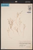 Linanthus filiformis image