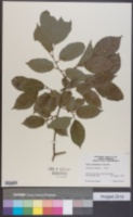 Image of Ulmus wilsoniana