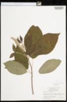 Clethra acuminata image