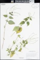 Aphanosperma sinaloensis image