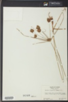 Image of Cyperus blodgettii