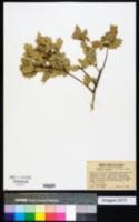 Quercus ajoensis image